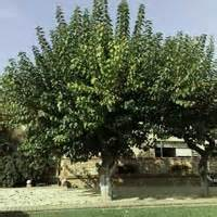 fruitless white mulberry