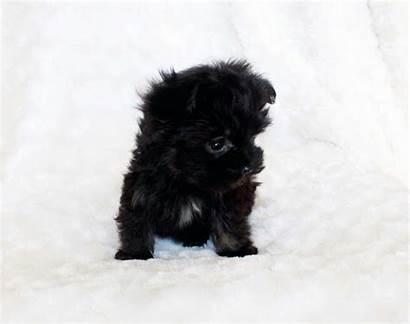 Maltipoo Teacup Puppies κουτάβια και σκυλιά Schnauzer