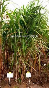Arbuste Brise Vue : p pini re jardinerie miscanthus brise vue ~ Preciouscoupons.com Idées de Décoration