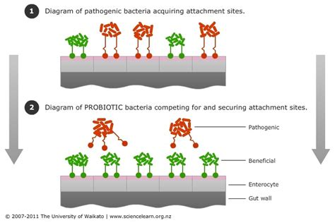 cell adhesion supports probiotic function thryve medium