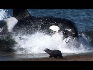 Killer Whale Attacks Man On Beach - WARNING: Graphic - YouTube