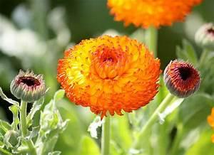 Keimzeit Saatgut De : ringelblume 39 neon 39 ~ Lizthompson.info Haus und Dekorationen