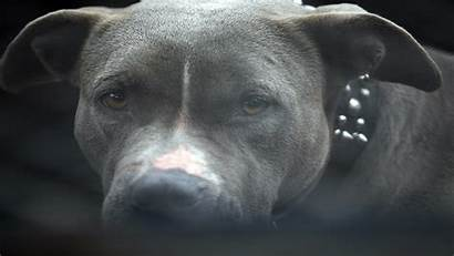Pit Bull Attacked Mooresville Shot Challenged Mentally