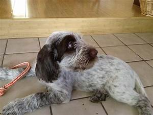 spinone italiano puppies spinone italianos