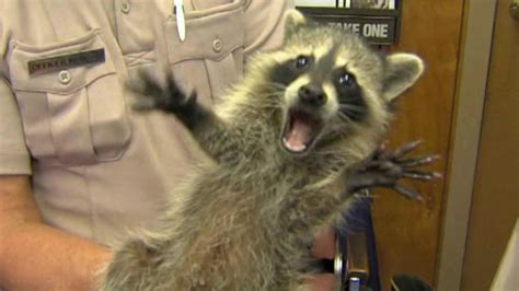 domesticated raccoon mom may be charged after pet raccoon attacks baby wtvr com
