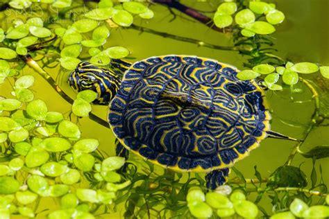 Water Animal Wallpaper - animals turtle reptile leaves water wallpapers hd