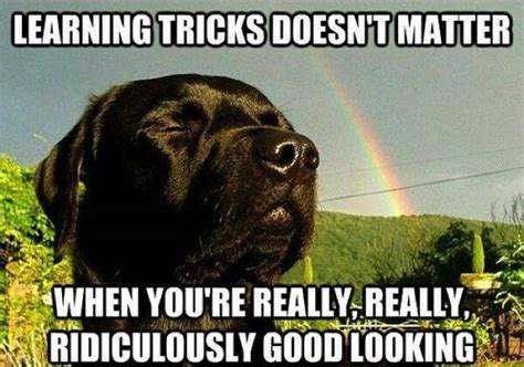 Learning Meme - 12 best labrador memes of all time