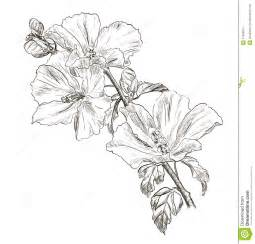 drawing hibiscus flower royalty free stock photo