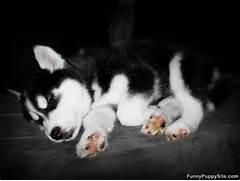 Cute Puppy Sleeping - funnypuppysite com  Adorable Husky Puppy Sleeping