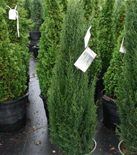 cupressus sempervirens monshel lancaster farms item details for