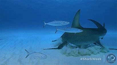 Shark Hammerhead Tiger Hungry Week Attacks Giphy