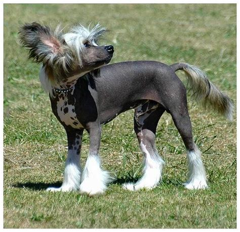 Ķīnas cekulainais suns - Spoki