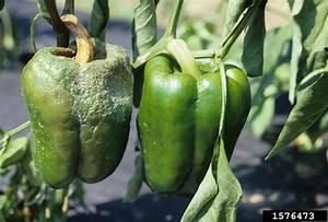 Natural Light Strawberry Phytophthora Blight Phytophthora Capsici On Pepper