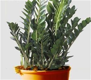 Grande Plante D Intérieur Facile D Entretien : zamioculcas conseils d 39 entretien ~ Premium-room.com Idées de Décoration