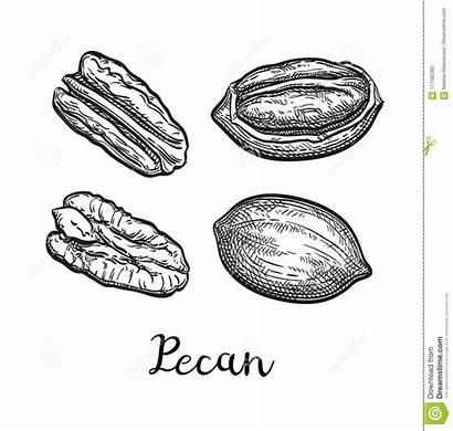 Pecan Tree Hickory Vector Sketch Nuts Clip