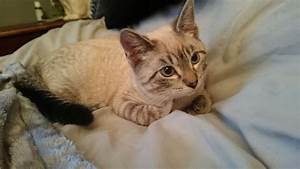 Siamese chocolate point Siamese mix | London, South West ...
