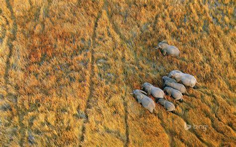 elephants   okavango delta botswana full hd