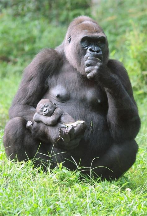 gorilla   fist  pics   baby chimp