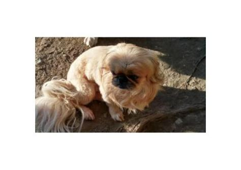adorable pekingese pom mixed puppies  sale  austin