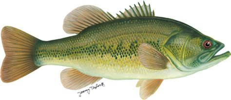 Images Of Bass Fish Fishing For Black Bass