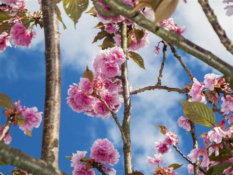 Single Cherry Blossoms On The Branch Stock Photo Image