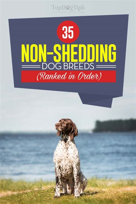 breed shedding 35 non shedding breeds ranked in order