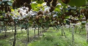L Arbre Du Kiwi : comment bien planter un arbre fruitier dossier ~ Melissatoandfro.com Idées de Décoration