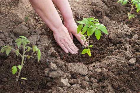 Kad stādīt tomātu stādus - Vispārīga informācija - 2021