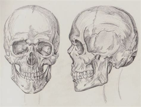 Othrographic Skull Proportions Anthropometrics