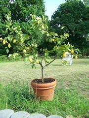 Zitruspflanzen Gelbe Blätter : zitronenbaum pflege schneiden berwintern und krankheiten ~ Orissabook.com Haus und Dekorationen