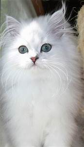 Chinchillas, Persian and Persian beauties on Pinterest