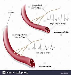 Vasoconstriction And Vasodilation Control By Sympathetic