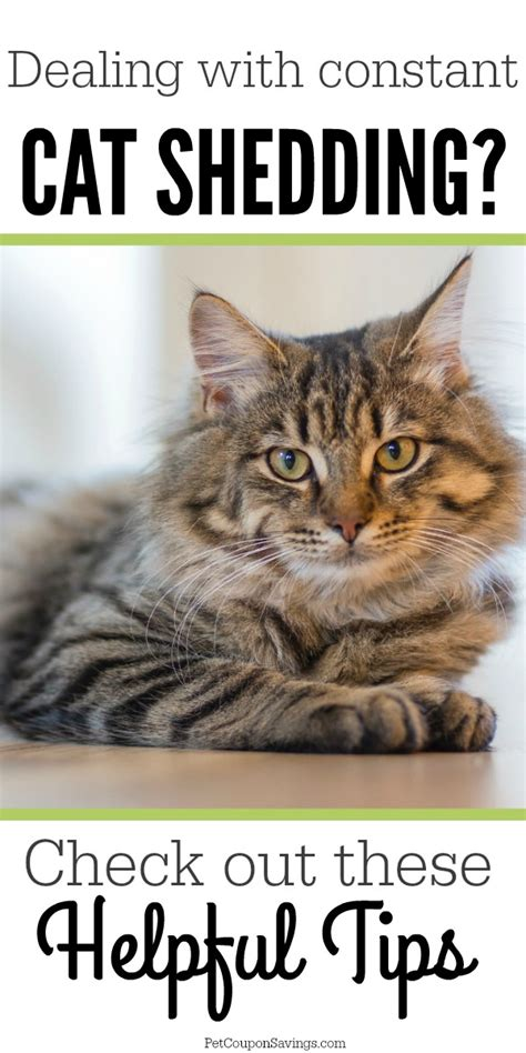 Cat Excessive Shedding by How To Prevent Excessive Cat Shedding All Year Pet