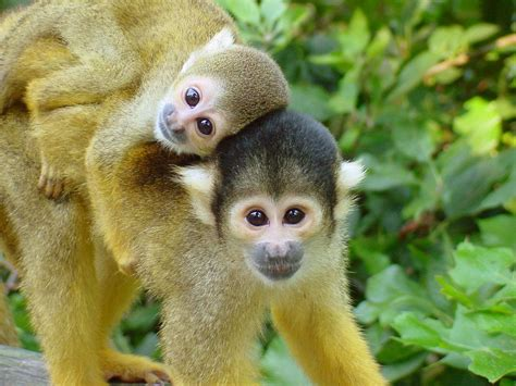 apenheul apen doodshoofdaapje dieren schattige dierentuin monkey aapjes apeldoorn doodshoofdaapjes met amersfoort aapje dierenpark korting ik het doodshoofd een verwacht