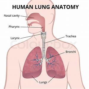 Image Of The Anatomy Of The Lungs  The