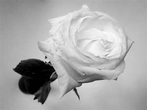 Fleur Rose Et Blanche : fleur blanche fond noir robert lafond flickr ~ Dallasstarsshop.com Idées de Décoration