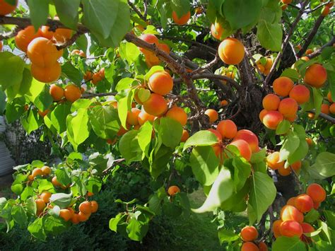 Apricot Tree Bug Control - Learn About Common Pests On ...