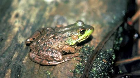northern green frog lithobates clamitans melanota youtube