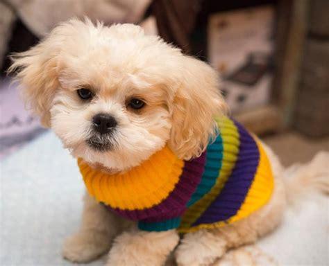 peekapoo pekingese poodle mix hybrid designer dog facts
