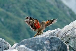 Newsie - Native birds in 'desperate situation' - The ...