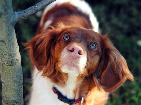 French Brittany spaniel | Things that make me happy ...