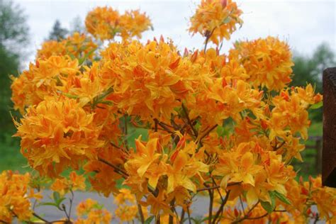 Golden Lights Azalea by Rhododendron Golden Lights