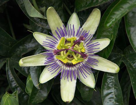 passion fruit flower pentaxforumscom
