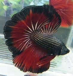 Red Rose Tail Betta Fish