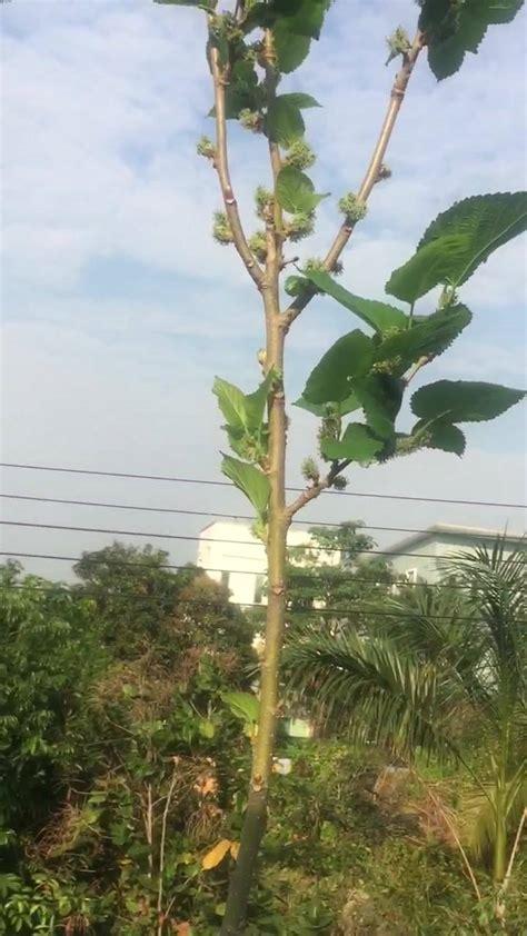 ผลตอบรับกับ ไซโตไคนิน - Bangkok Mulberry