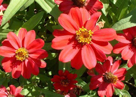 Trepadeira-Mexicana   Flores - Cultura Mix