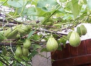 Culture De La Patate Douce : culture des chayottes idee support jardin pinterest ~ Carolinahurricanesstore.com Idées de Décoration