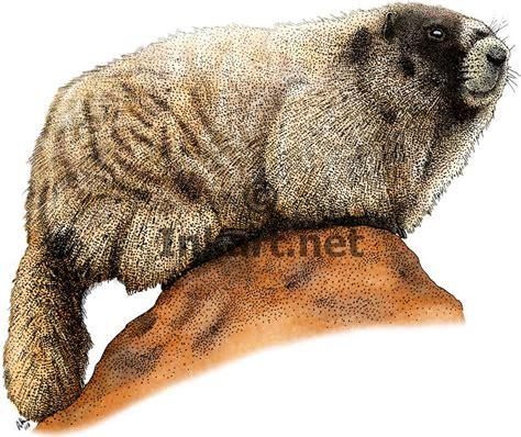 hoary color hoary marmot stock illustration