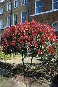Photinia Red Robin : photinia x fraseri red robin pinterest robins ~ Michelbontemps.com Haus und Dekorationen