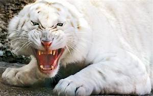 HD Wallpapers: White Tiger HD Wallpaper 1080p